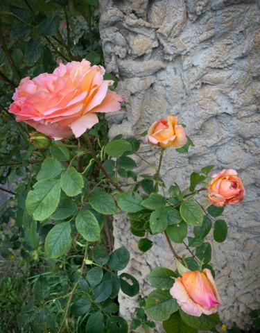 Rosier rose